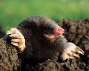 Last fall my yard was a mass of mole tunnels, how do I get rid of the moles? Is there a reasonably priced cure? Godfrey, Waterford
