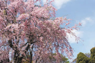I'm wondering if there is a possibility of cutting off the top of a weeping cherry tree and still have it live. I would like a smaller, tidier tree since it is now growing terribly close to the roadside electrical wires. Thanks for your advice. Jackie