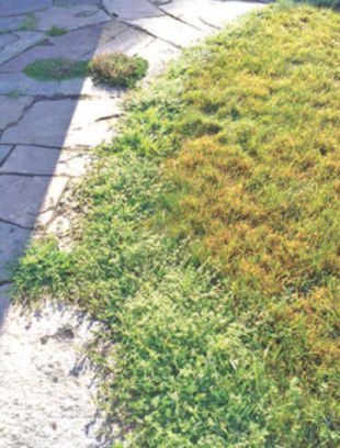 For some reason, I have an infestation of weeds along the edge of my patio. My lawn looks good (although it's brown), but why would the weeds show up and look like this? Joan