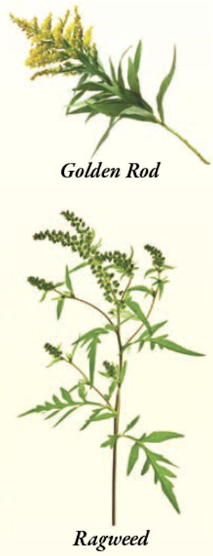 I am highly allergic to pollen and every fall my allergies go crazy. I always thought I was allergic to both Golden Rod and Ragweed, but my neighbor says not so. Are they different?