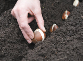The warm weather seems to be holding on this year. Do you think it's still too warm to plant my spring bulbs? Kristin
