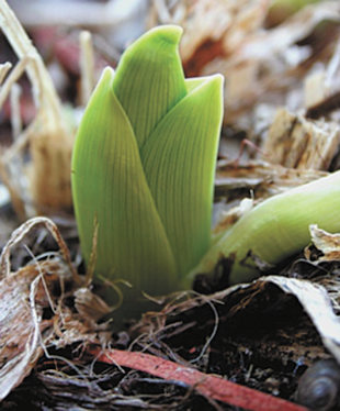 I planted my bulbs in early November and now with the warm weather some of them are sprouting up! What should I do? Will they grow in the spring? Gary