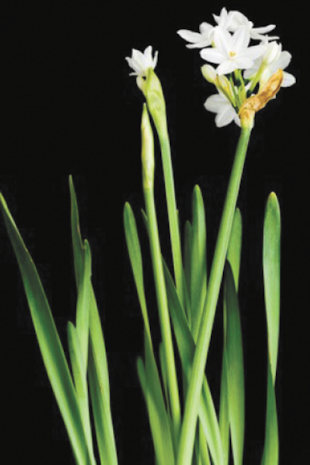 My mother always forced paperwhite narcissus bulbs to grow indoors for fall/winter enjoyment, but I remember that they grew tall and fell over. I recently heard that alcohol can be used to stunt their growth. Is that worth a try? Carol