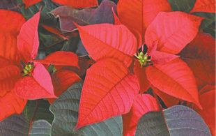 I love Poinsettias at this time of year, and I've always wondered if the growers paint them red? Sarah