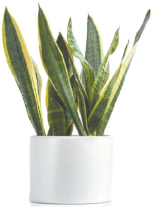 I have a snake plant that was my grandmother's, my mom's, and now mine. It's at least 40 years old and I've had it for 6 years now but in the past few months have noticed most of the leaves are bent in half or completely wilted. I know very little about house plants but would desperately like to save this plant! Do you have any suggestions? Thank you so much! Terry