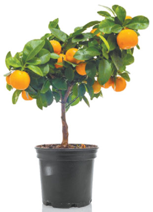 My miniature orange tree has dried, yellowing leaves that are falling off daily. I water it twice a week and lightly fertilize once a month. There doesn't seem to be any infestation. Is there anything I can do to save it? Paulette