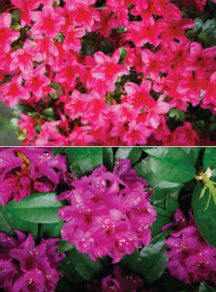 I always get confused, what is the difference between Azaleas and Rhododendrons? Marie