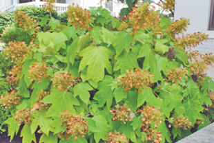 My daughter lives in North Stonington and two years ago we planted hydrangeas around her house. They did fantastic for the past two years!!! This year she had a new gardener who, while she was gone, cut down her hydrangeas to about 4 or 5 inches from the ground!!! Are they going to come up as well this year??? We do see some green coming out from the growing area, but will they get as big as before? I thought you had to leave the old wood on it until they started sprouting and then you could cut off the old areas. Mary
