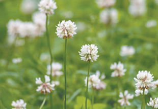 I have clover all over my lawn, how can I get rid of it safely? Margaret