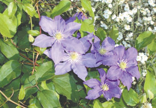 I have 2 clematis plants. Both had a couple of blossoms several weeks ago, but no new blossoms have appeared. Is this normal? Should I do something to help create more blossoms? Thanks, Gary