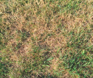 Hello Linda. We have a lawn sprinkler system which was turned on the third week of June. In spite of regular watering since then, the lawn is still fairly brown and has many weeds. Do you have any thoughts? Jim