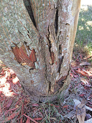 Hi Linda - I have a 9 year old Japanese maple. This year the bark of the trunk is starting to peel. I broke off a piece and saw beetle-like bugs. There weren't a ton of them, they may have been there just for shade? I love my maple. What should I do? Anna