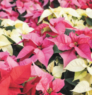 Hi Linda, I seem to remember an article you wrote about Poinsettias, I know I cut it out of the paper, but I can't seem to find it. Can you re-run it? Thank you. Rene, Clinton, CT
