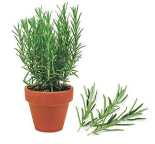 Keeping Rosemary Healthy Over Winter