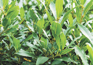 Cause of sticky Bay Leaves