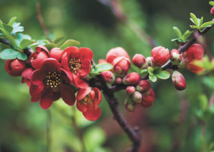 Quince Flowers in the Spring