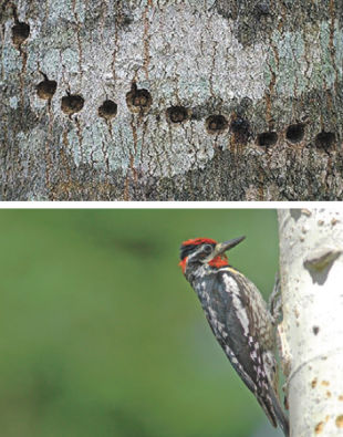 Yellow-bellied Sapsucker Holes