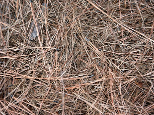 Pine Needles as Mulch