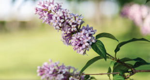 Lilac Bush Will Not Blossom